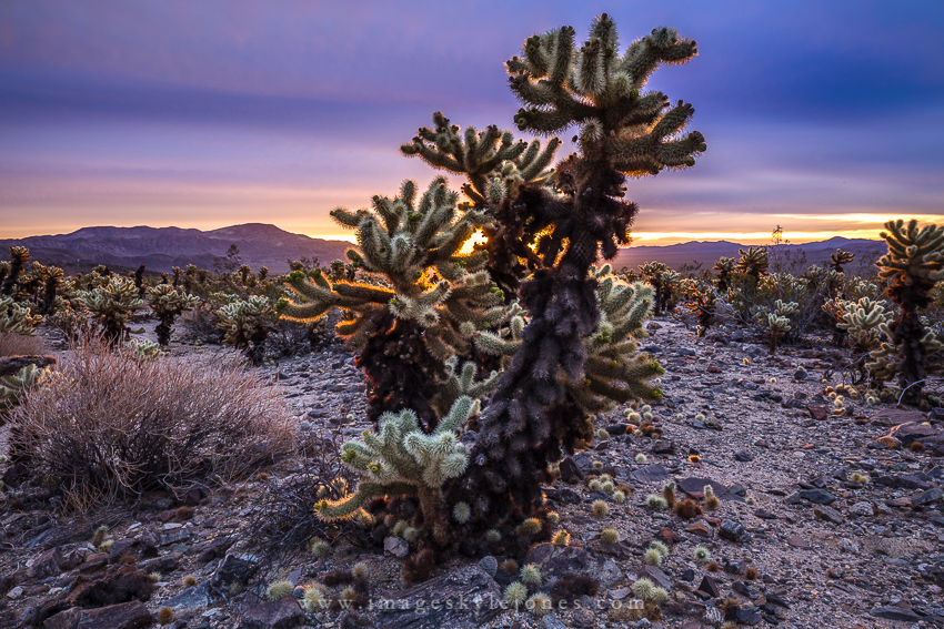6222 Cholla Sunrise_850.jpg