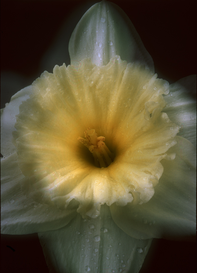 Daffodil1-1.jpg
