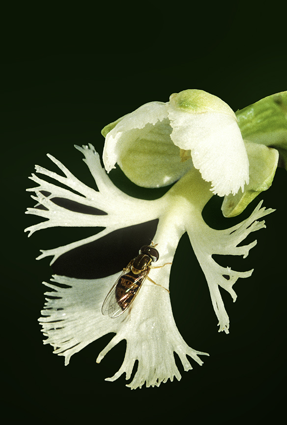 Hover Fly on Prairie White Frnged Orchid.jpg