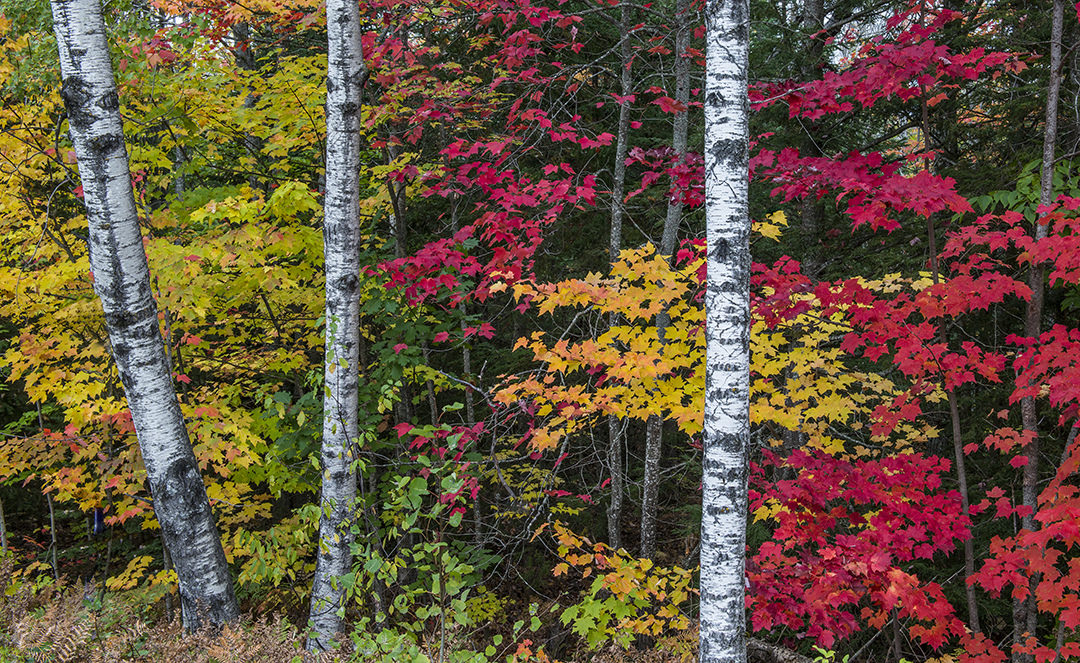 maples and birches (1 of 1).jpg