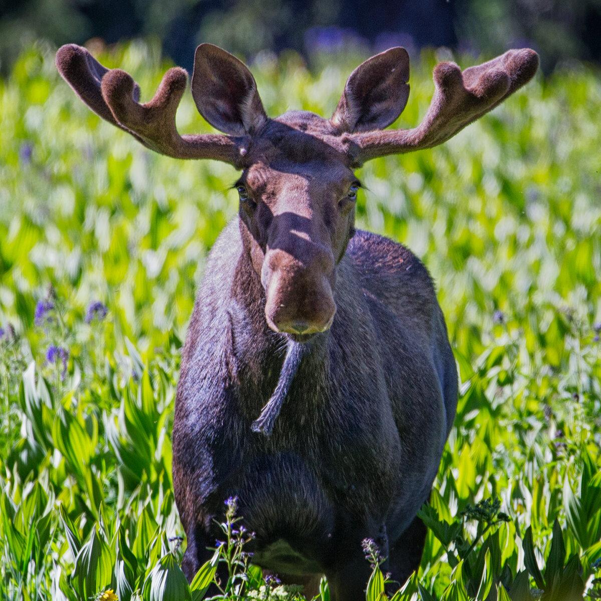 Moose-frontal.jpg