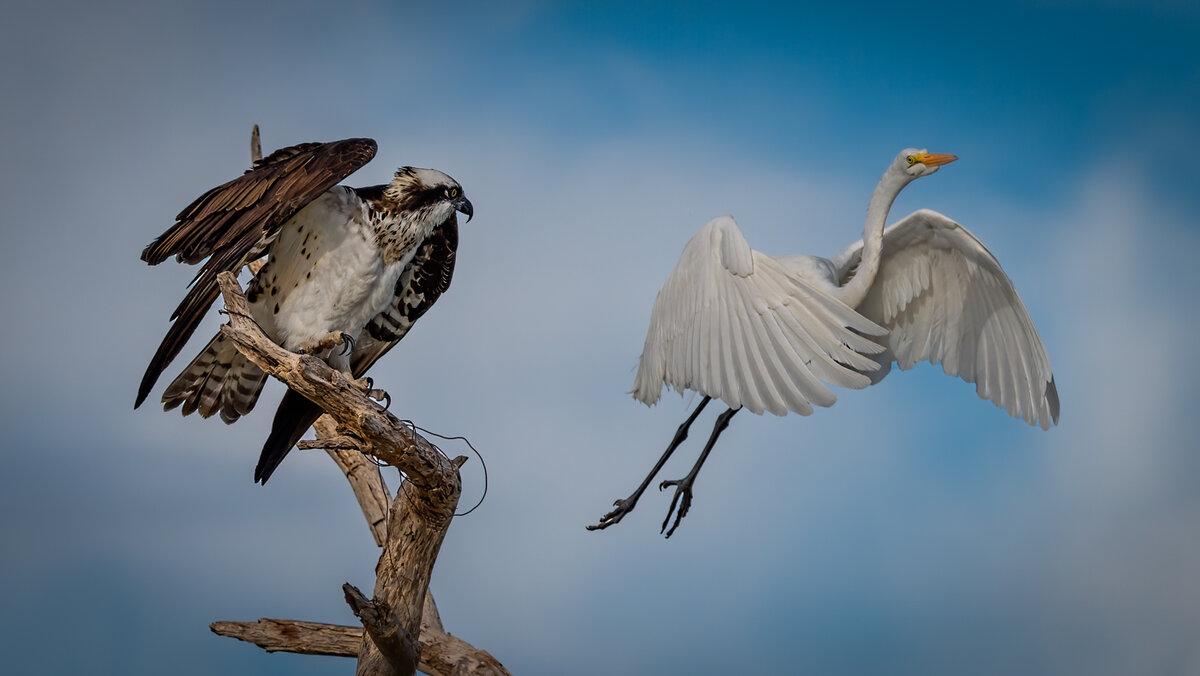 Osprey n Egret-8358-Edit.jpg