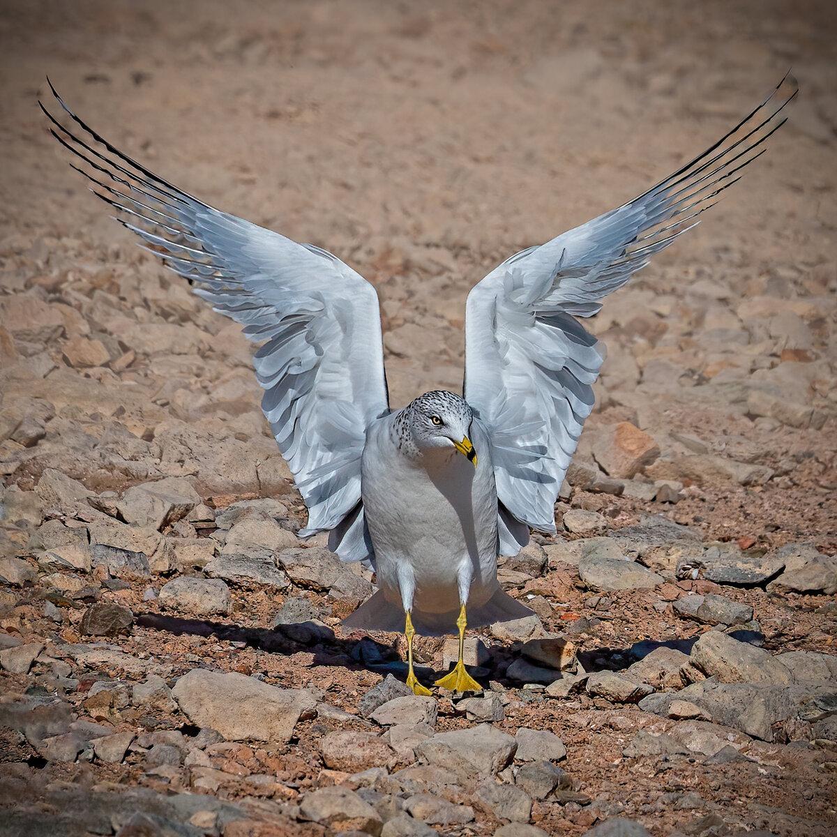 Ring-billed gull-9220-Edit.jpg