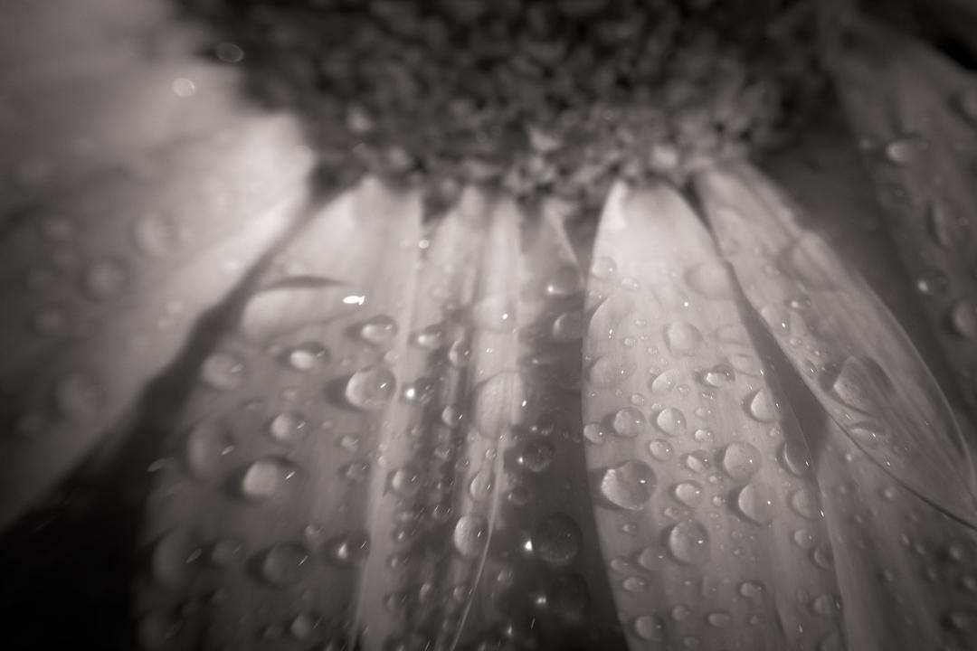 Wet-Petals---ST-BNW---1.jpg