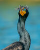 Double-crested cormorant-9875-Edit.jpg