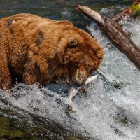 Grizzly Fish Catch