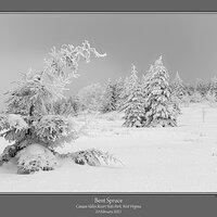 Bent Spruce Winter.jpg